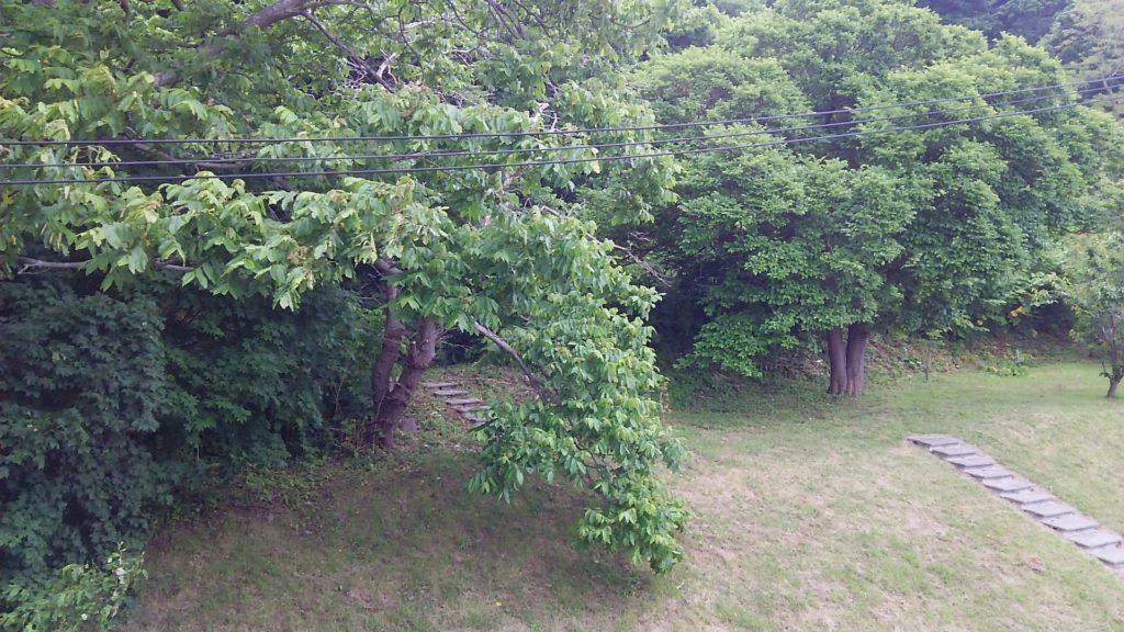 小西正尚が撮影したクルミの木にはたくさんの実が実っています