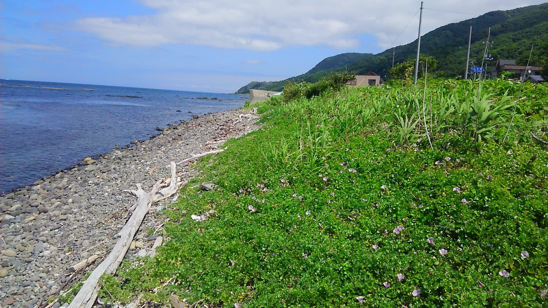 寿都湾と浜昼顔の花