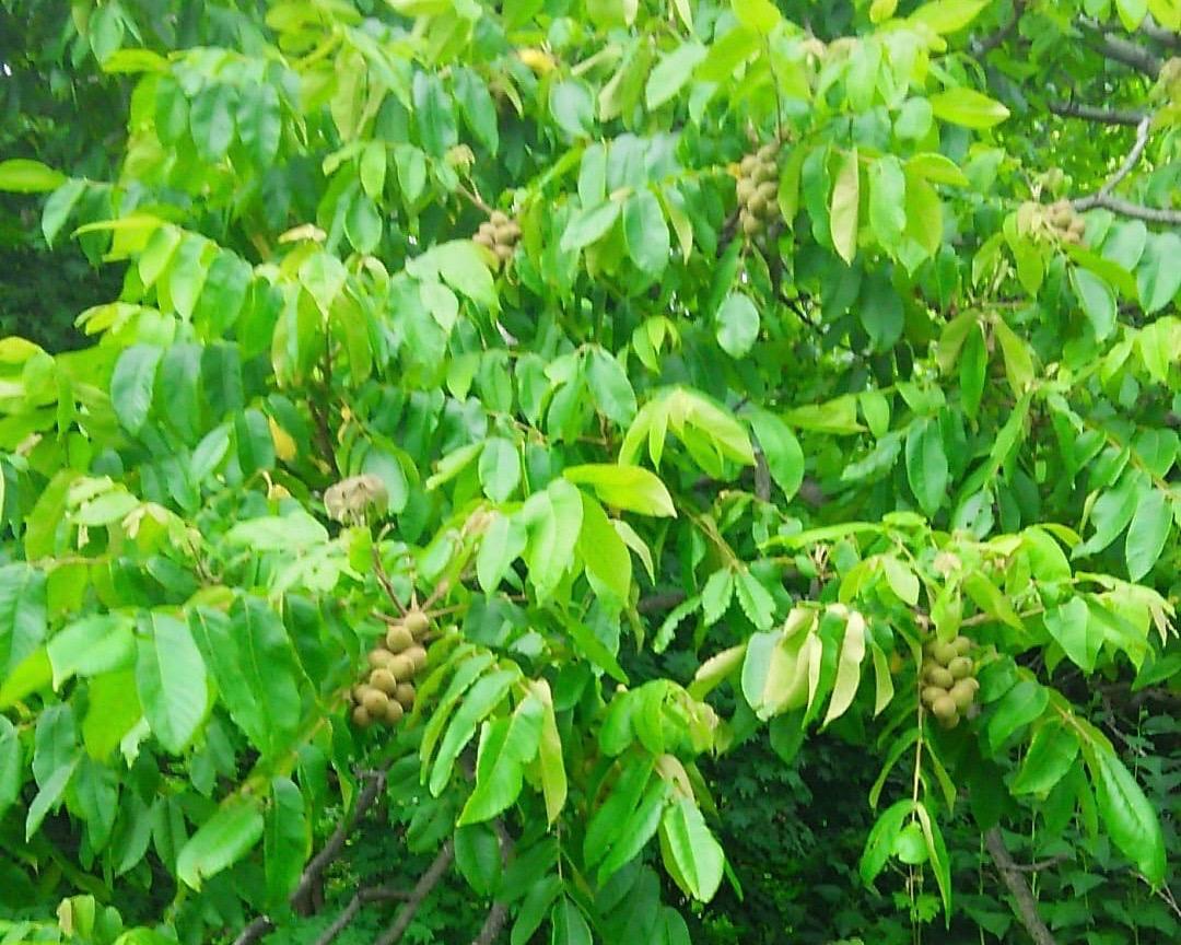 小西正尚の家の裏にあるクルミの木にはたくさんのみ実が実っている