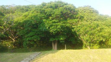 40年を経て大木になった桑の木