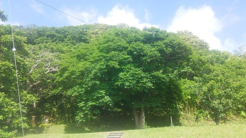 小西正尚撮影_大きな桑の木
